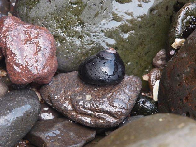 岩の上のクマノコガイ