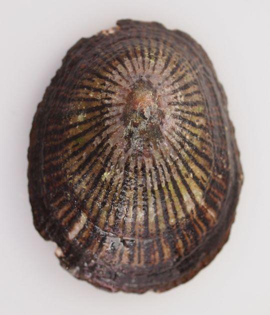 80mm SL 前後になる。殻高はやや低いものと高いものがある。表面はぶつぶつしていなくて、薄い褐色の地に赤褐色の放射状の模様があるものと、上部は胡麻状の褐色の斑点があり裾にかけて赤褐色の網目状の模様のあるものがある。