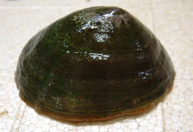 ウシノツメ/非常に大形で褐色の放射状の筋がなく貝殻に波状の放射状の畝があるタイプをウシノツメという。
