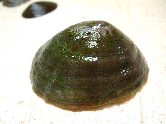 非常に大形で褐色の放射状の筋がなく貝殻に波状の放射状の畝があるタイプをウシノツメという。