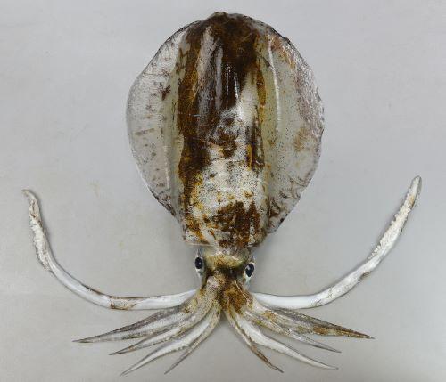 外套長は40cmを超える。鰭は胴の部分全体を縁取り大きい。生きているときは透明で、死ぬと白くなりときに濃い灰色を帯びることがある。漏斗の色素は濃い灰色のみ。