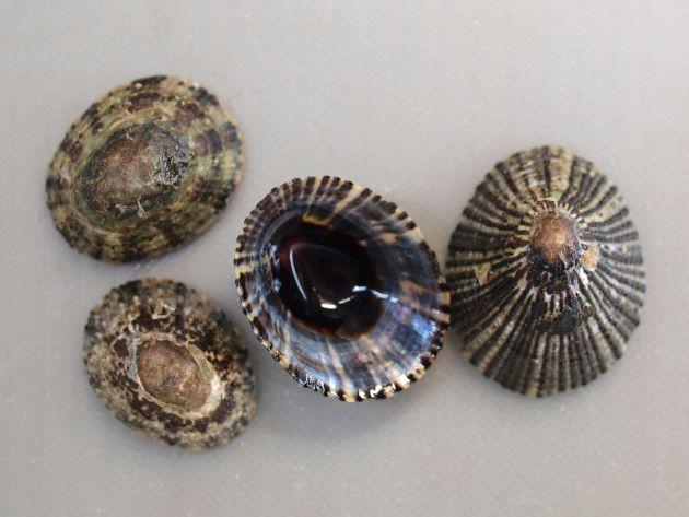 殻径6cm前後になる。表面は滑らかだが、海藻などがついていてゴツゴツしている。貝殻に黒褐色、茶褐色の斑文があり、表に透けて見える。