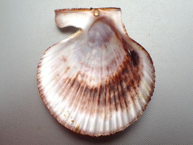 SH 90mm(殻高90mm)前後になる。紫色を帯びた褐色、もしくは赤褐色の貝殻を持つ個体が多い。左殻の方がふくらみが強い。前後に耳(翼状に伸びる)がある。やや縦長で多くの放射肋があり、肋上にやや強い鱗片が立つ。内層は総て交差板構造をしめし、葉状方解石の沈着はない。右耳の直下に足糸の出る開口部分がある。