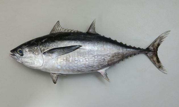 1.4m  TL 前後になる。マグロ類としては小型。やや細長く、第二背鰭、尻鰭後方が長く後方に行くにしたがって細くなる。胸鰭が第二背鰭起部真下に届く。側面腹側には顕著な楕円形の白い斑紋がたくさんある。[全長43cm]
