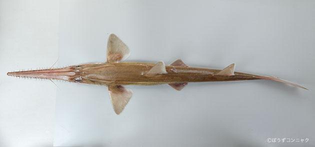 ノコギリザメの形態写真