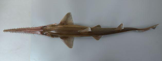 1.5m TL前後になる。吻は長く伸び、大小の棘がほぼ一列に並ぶ。吻の中央に1対のヒゲがある。