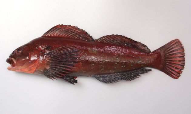 60cm SL 前後になる。頭部はアイナメと比べて厳つく、目の後方に斜め下に目立つ縞模様がでることがある。背鰭中央に深い欠刻がある。側線は5本。尾鰭後縁は丸い。