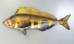 キタノホッケのサムネイル写真