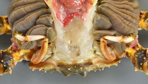 脚は10本で1対の小さな脚が甲羅の下に隠れている。これで甲羅内に入ってきて、鰓(がに)についたゴミなどを掃除している。