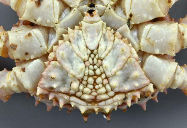 雄のふんどし(尾)の部分は三角形。