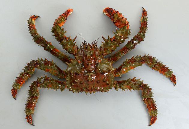 甲長20cm前後になる。赤褐色で甲羅に対して脚が短く太い。全身が長い棘に覆われている。[表面 雄]