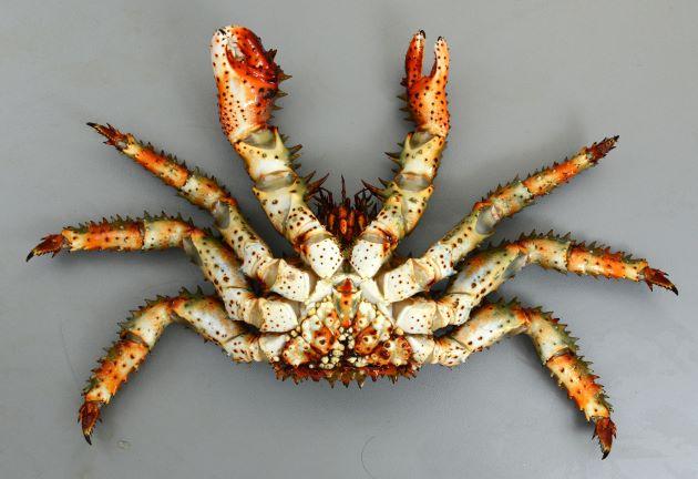甲長20cm前後になる。赤褐色で甲羅に対して脚が短く太い。全身が長い棘に覆われている。[裏面 雄]