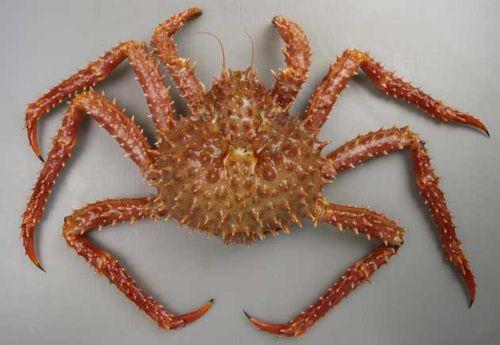 イバラガニモドキの生物写真
