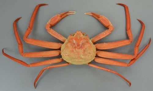甲長12cm前後になる。ゆでなくても赤い。雄は足が長く太い。