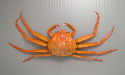 甲長12cm前後になる。ゆでなくても赤い。ベニズワイガニの雌。雄と比べると小さく脚が短い。