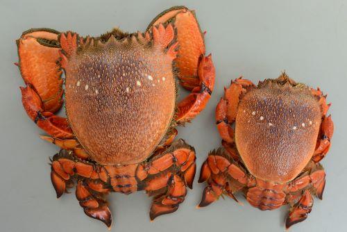 体長15cm前後になる。エビとカニの中間的な形でふんどしは完全には折りたたまれない。左が雄、右が雌。