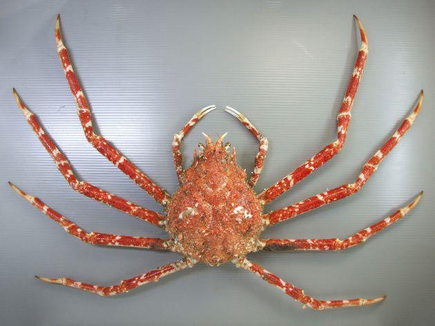 脚を広げると4m近くになる。頭部は小さく、脚は細く華奢。雌は甲に対して足が短く、雄よりも小さい。[雌。千葉県竹岡産]