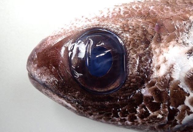 目の前方に鱗がなく、目の前方背部、口の周辺にはある。