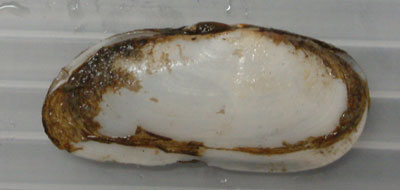 コオキナガイの形態写真