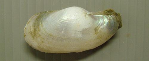 オキナガイの形態写真