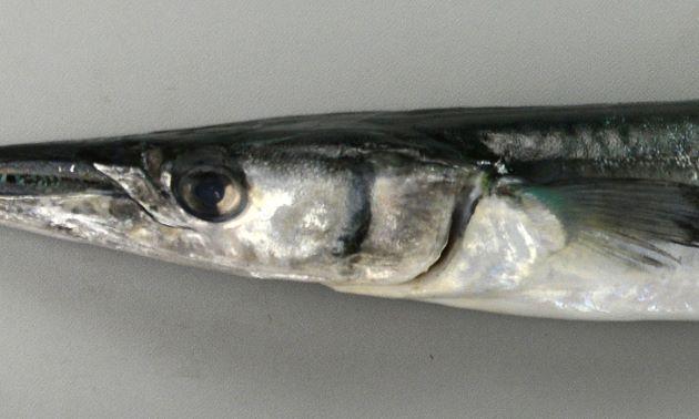 鰓蓋骨に暗色の横縞がある。