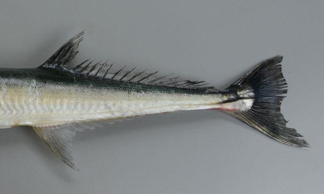尾柄部にキール(隆起した線)がある。鰓蓋骨に暗色の横縞がある。背鰭軟条は21-24(テンジクダツは24-27)で写真のものは22。