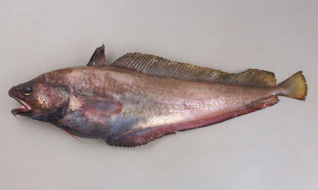 エゾイソアイナメの形態写真