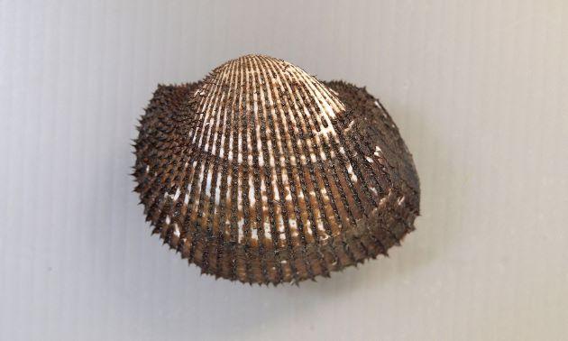 殻長(画像で左右の幅)7cm前後になる。非常にふくらみが強く、貝殻が深い。後ろ(画像では向かって左が前、右が後ろ)の縁当たりで貝殻がはっきり食い違っている。殻頂(画像でいちばん上)に近い放射肋(画像で縦の筋)上に顆粒(つぶつぶ)がある。
