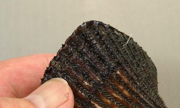 左の貝殻が右の貝殻よりも大きく、きっちりとじず、食い違う。