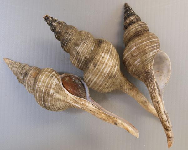 ハシナガニシの形態写真