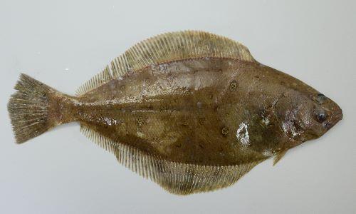 雌の方が大きく40cm前後に、雄は30cm前後になる。有眼側(表 カレイでは右側)に3対の虫食い状の斑文がある。口がカレイ類では大きめ。裏返すと透明感のある白。