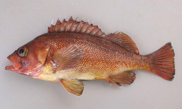 体長25cm前後になる。胸鰭の縁は丸い。眼窩下縁、頭頂に棘がない。背鰭棘13。尾鰭の後縁は白い。