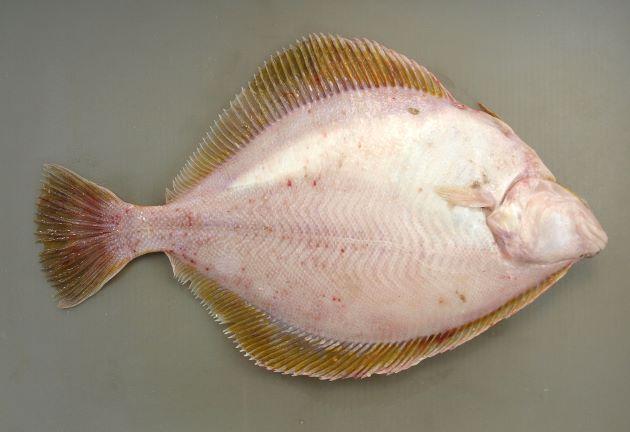 50cm前後になる。鮮度がよければ背鰭と尻鰭は黄金色(黄色い)。幅広で、口はやや大きめ。鱗は櫛鱗でザラザラしている。[裏側]