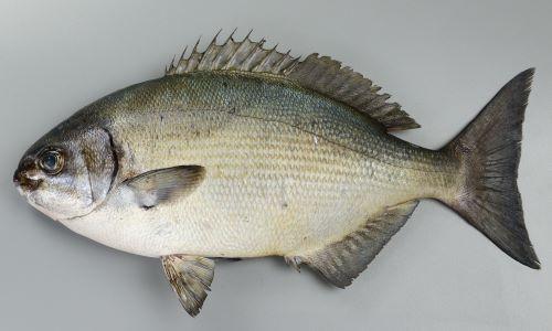 体長50cm前後になる。体側に目立った斑紋がなく灰色。吻はあまり突出せず、クチバシ状ではない。背鰭軟条は通常12、尻鰭軟条は通常11。第1鰓弓の鰓耙数は21〜24。ただし20の個体もあった。