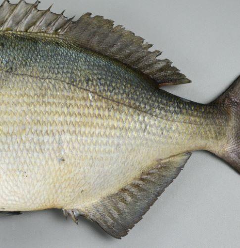 背鰭軟条は通常12軟条。尻鰭軟条は通常11軟条。