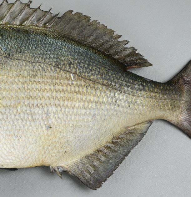 背鰭軟条は通常12、尻鰭軟条は通常11。第1鰓弓の鰓耙数は21-24。