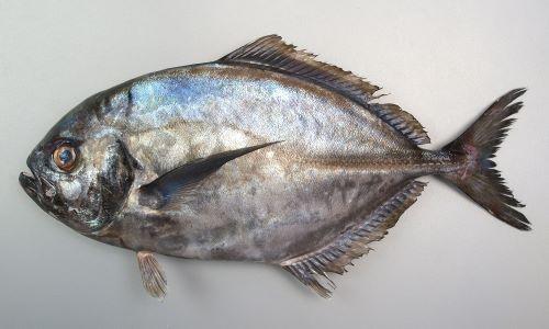 側線の後半に稜鱗(ぜんご)がある。胸鰭から腹部にかけて鱗のある部分がある。幼魚期から若魚にかけて暗色の横縞があり、背鰭、尻鰭が長い。