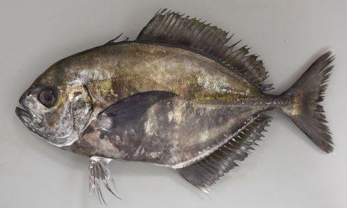 SL 40cm前後になる。側線の後半に稜鱗(ぜんご)がある。腹鰭真前方部胸部から胸鰭基部にかけての無鱗域は連続する(インドオキアジは2つに分かれる)。幼魚期から若魚にかけて暗色の横縞があり、背鰭、尻鰭が長い。[SL 26cm]