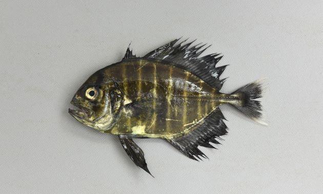 SL 40cm前後になる。側線の後半に稜鱗(ぜんご)がある。腹鰭真前方部胸部から胸鰭基部にかけての無鱗域は連続する(インドオキアジは2つに分かれる)。幼魚期から若魚にかけて暗色の横縞があり、背鰭、尻鰭が長い。[11cm]