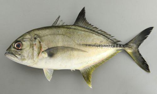 50cm SL前後になる。やや体高があり、目は吻に近い。尾鰭、背鰭は黒く、背から頭部、吻にかけてがやや直線的。胸鰭は透明もしくは黒ずむ。鰓蓋上部の黒斑は小さい。