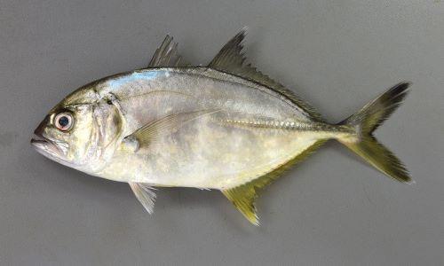 50cm SL前後になる。やや体高があり、目は吻に近い。尾鰭、背鰭は黒く、背から頭部、吻にかけてがやや直線的。胸鰭は透明もしくは黒ずむ。鰓蓋上部の黒斑は小さい。[18cm SL]