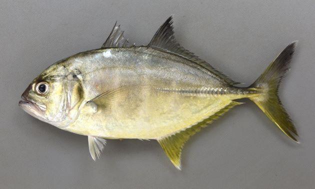 50cm SL前後になる。やや体高があり、目は吻に近い。尾鰭、背鰭は黒く、背から頭部、吻にかけてがやや直線的。胸鰭は透明もしくは黒ずむ。鰓蓋上部の黒斑は小さい。[20.5cm SL]