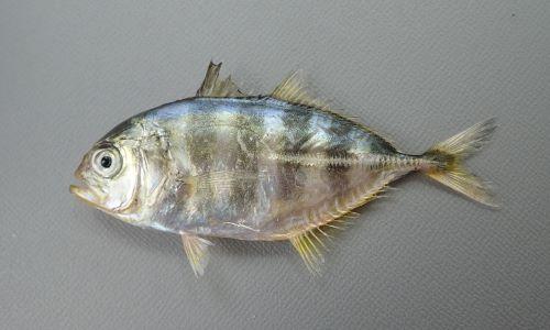 ミナミギンガメアジの幼魚だろうと思った個体。神奈川県二宮沖相模湾 SL 80cm。
