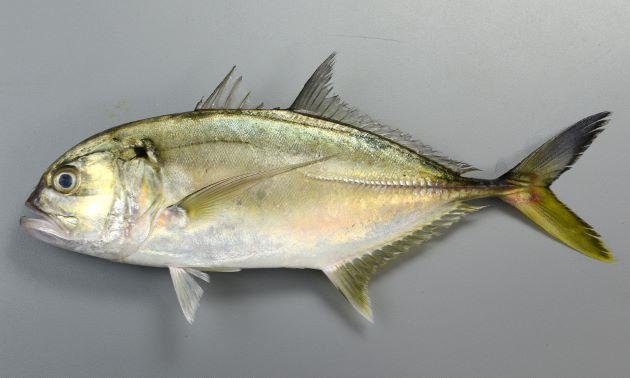 体長50cm前後になる。やや細長く側扁している(左右に平たい)。目が非常に前方にある。胸鰭が長い。尾鰭の下葉(下の方)が黄色い、もしくは黒くない。背から頭部、口にいたるラインが目の先でやや膨らむ〈おでこが出ている〉。鰓蓋(さいがい)上部に黒い斑文がある。