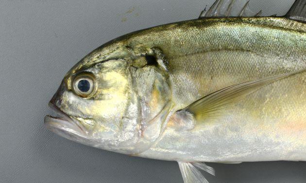 鰓蓋上部の黒い斑紋がはっきりしている。背から頭部、口にいたるラインは丸く吻は短い。