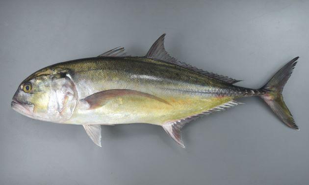 全長75cm前後になる。やや細長く側扁している(左右に平たい)。目が非常に前方にある。胸鰭が長い。尾鰭の下葉(下の方)が黄色い、もしくは黒くない。背から頭部、口にいたるラインが目の先でやや膨らむ〈おでこが出ている〉。鰓蓋(さいがい)上部に黒い斑文がある。[全長75cm]