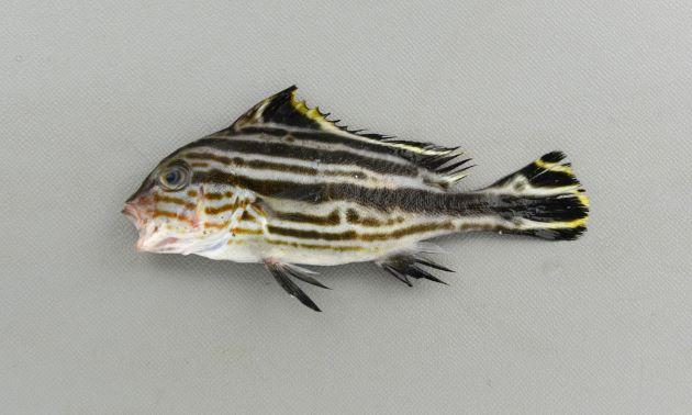 稚魚。[全長10cm]