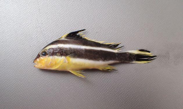 稚魚。鹿児島県では秋になると定置網で揚がる。[全長6cm]