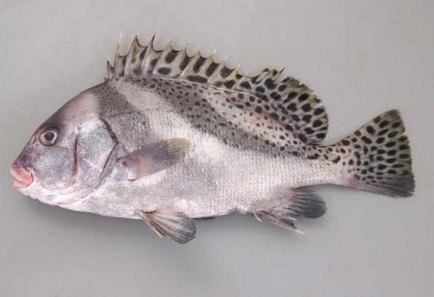 https://www.zukan-bouz.com/public_image/Fish/379/Thumb630/koshoudai.jpg