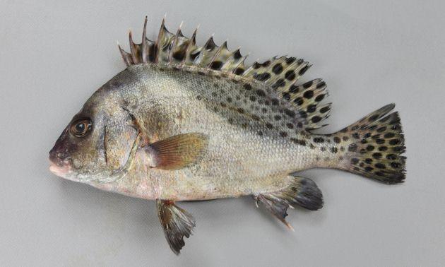 体長60cm前後になり、水揚げ地などでは非常に大型を見かける機会が多い。側扁(左右に平たい)し、体高が高く卵形。口が厚い。銀色の体色にやや濃い帯があり、全体に黒い斑文が散らばっている。[SL17cm]